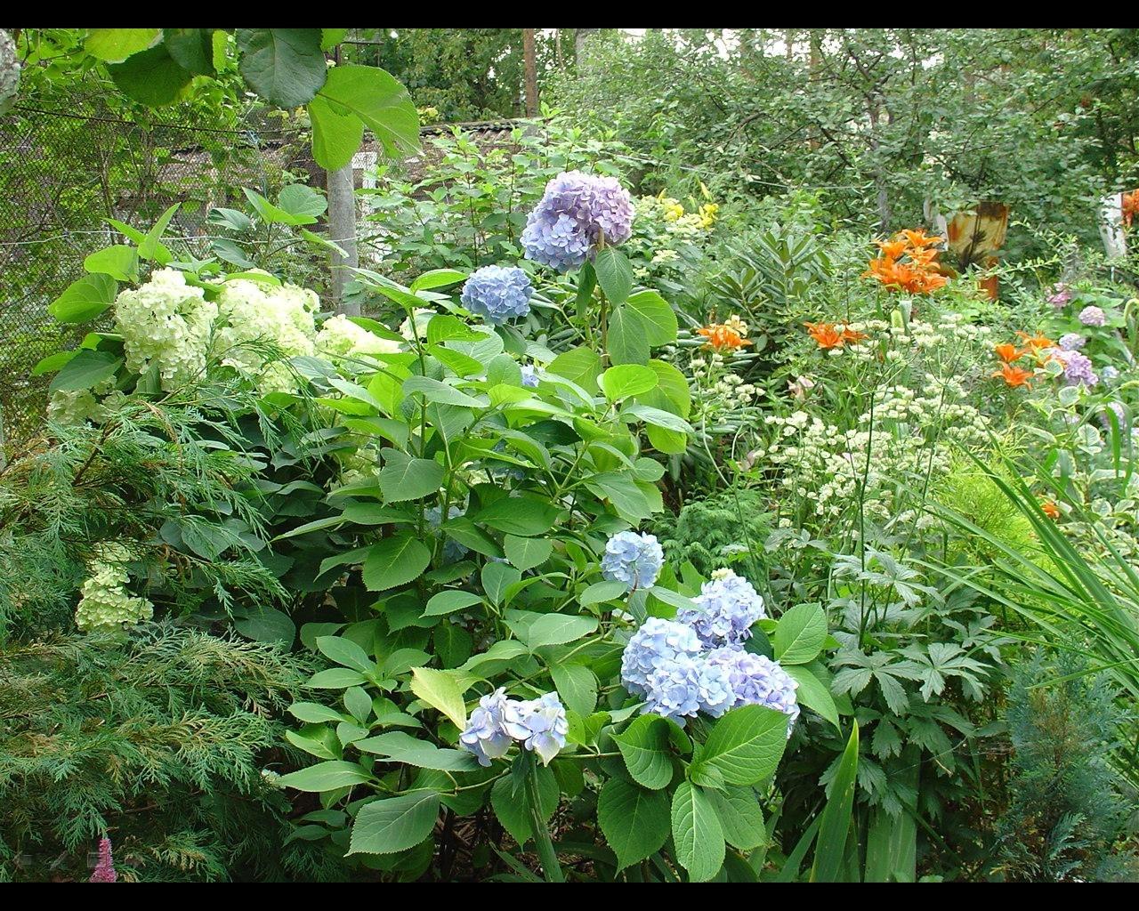 Садовые гортензии: как сажать и ухаживать. Популярные виды и 50