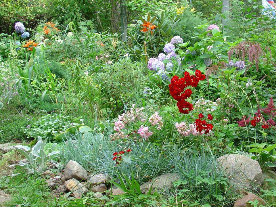 Можно ли гортензию сажать рядом с розами 67