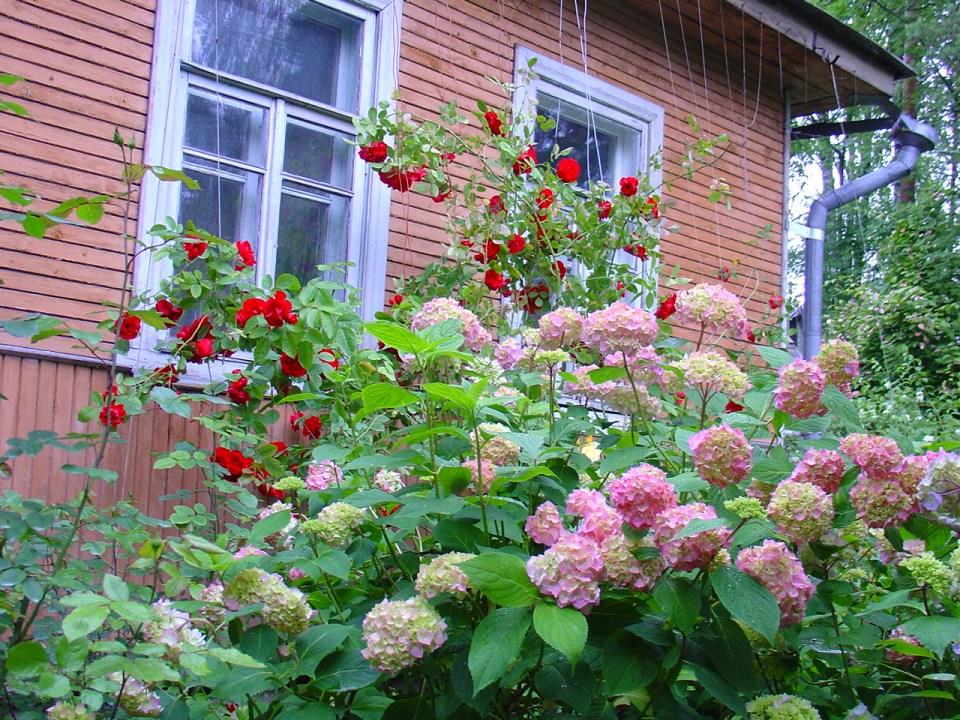 Можно ли гортензию сажать рядом с розами 11