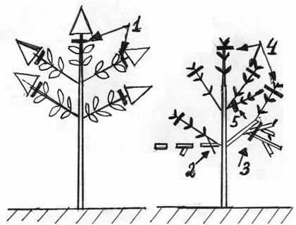 обрезка метельчатой гортензии